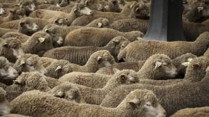 alaune—mouton